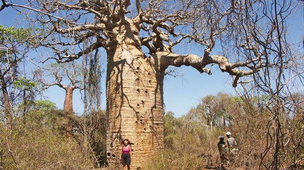 Baobab à Ifaty