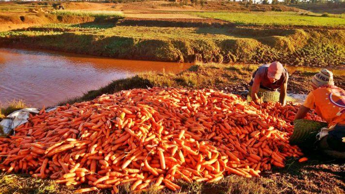 Triage des carottes pour vente