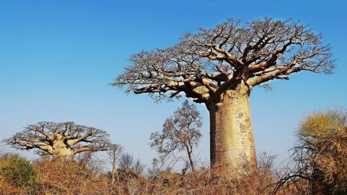 Baobab à l'ouest