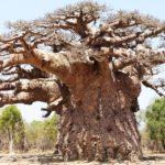 Le plus vieux baobab de Madagascar