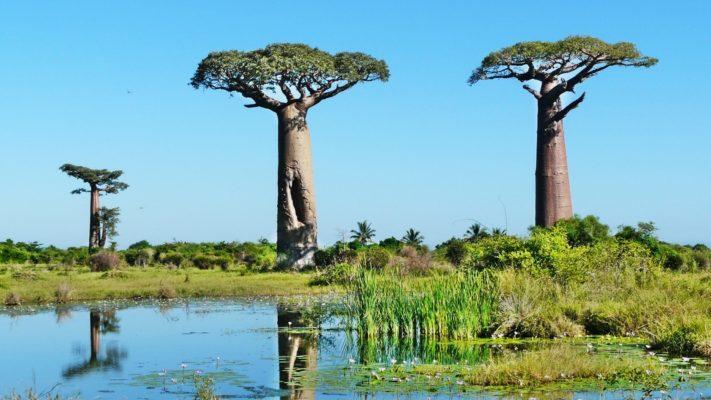 Baobabs à l' Ouest