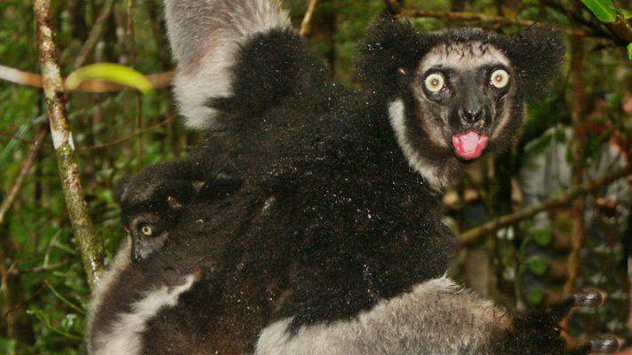 Lémurien à l'Est