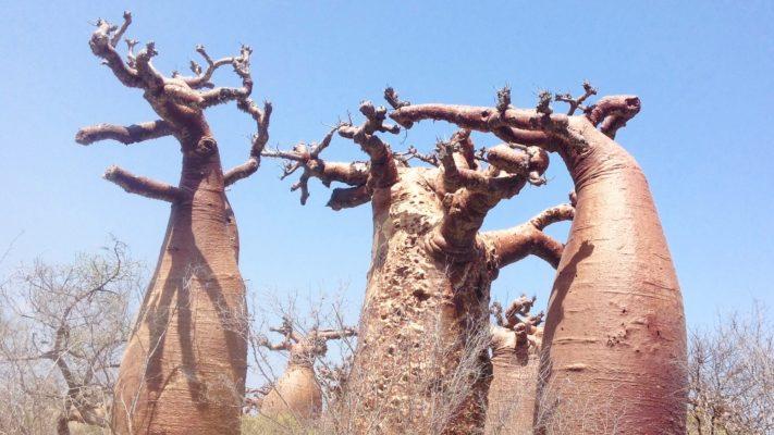 Baobabs de la cote Ouest