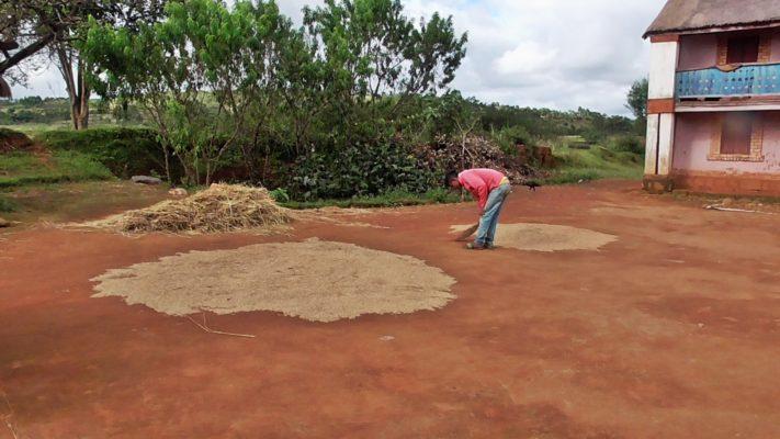 Séchage du riz